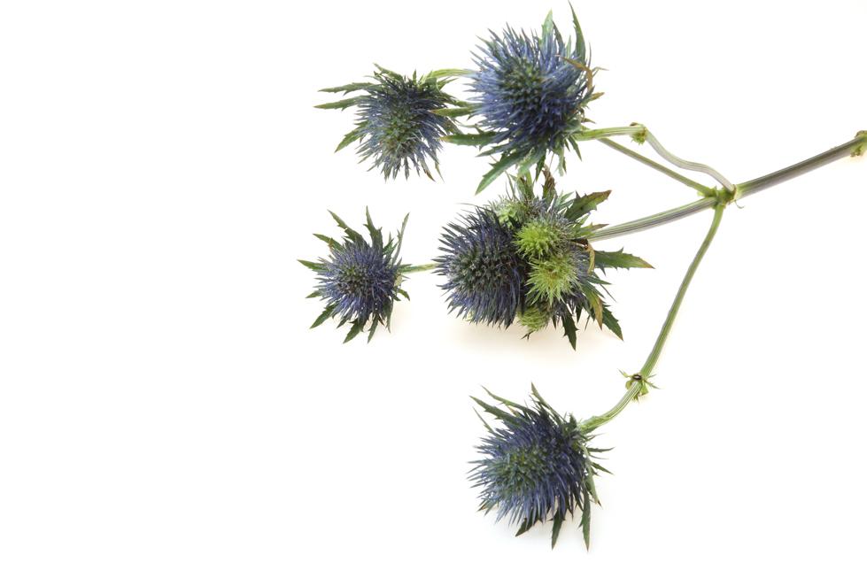 エリンジウムの花言葉<Eryngo> 秘めたる愛、秘密の恋