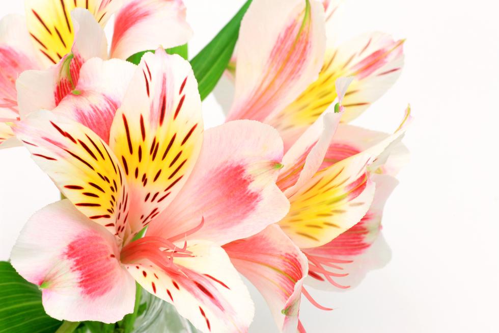 アルストロメリアの花言葉<Alstroemeria> 凛々しさ(りりしさ)
