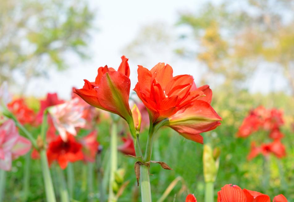 アマリリスの花言葉<Amaryllis> 素敵、素晴らしく美しい、内気な少女