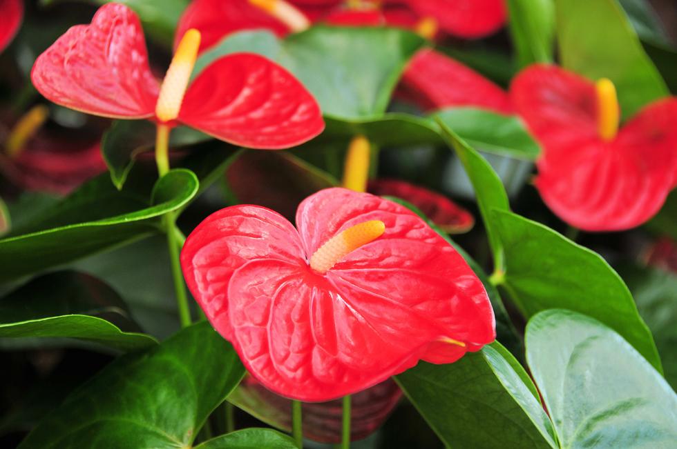 アンスリウムの花言葉<Anthurium> 「情熱」「飾らない美しさ」