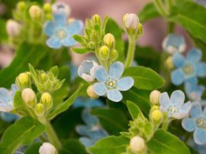 ブルースターの花言葉<Blue star> 幸せな愛、信じあう心