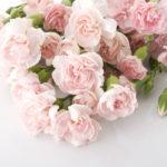 カーネーションの花言葉<Carnation> 純粋な愛
