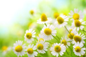 カモミールの花言葉<Chamomile> 清楚、あなたを癒す、苦難の中の力