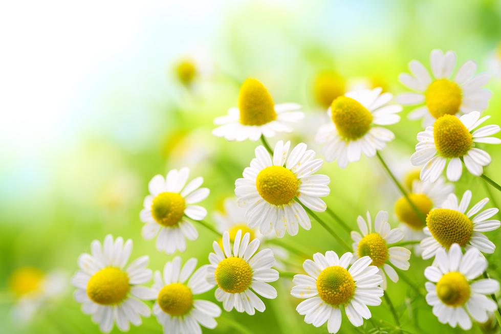 カモミールの花言葉