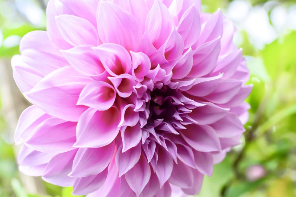 ダリアの花言葉<dahlia> 華麗、優雅、裏切り、移り気