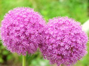 ギガンチウムの花言葉<Allium giganteum> 深い悲しみ