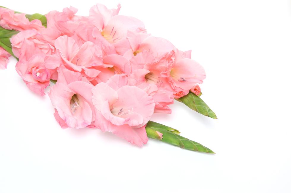 グラジオラスの花言葉<Gladiolus> 密会、情熱的な愛