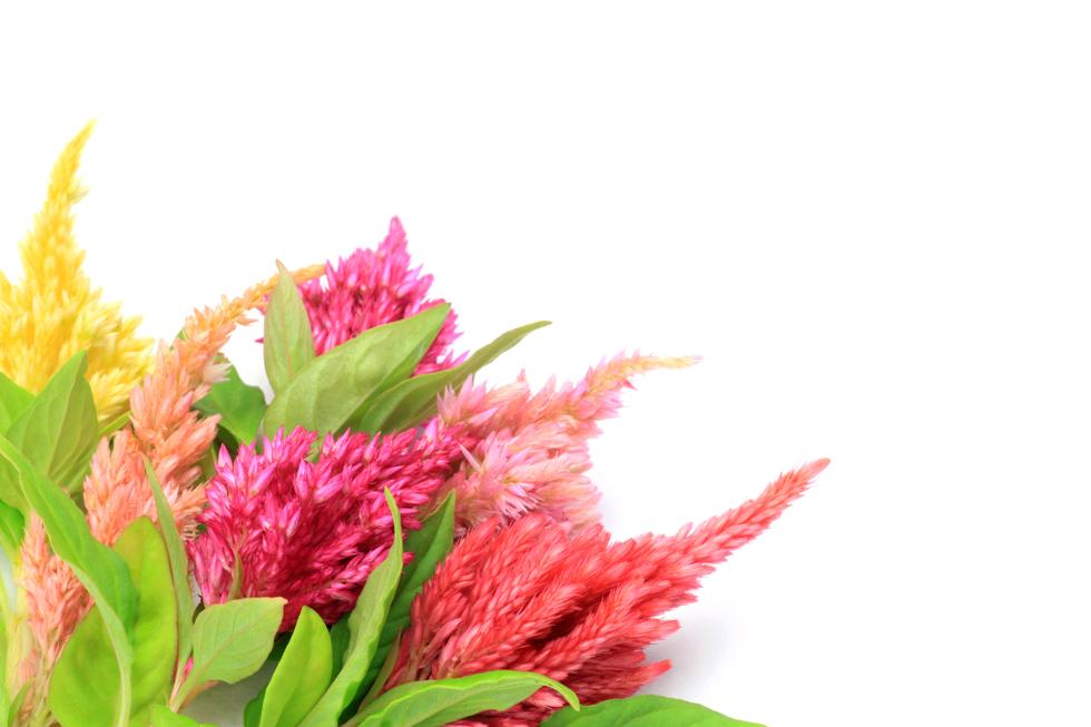 ケイトウの花言葉 おしゃれ、色あせぬ恋、気取り屋、風変り、個性