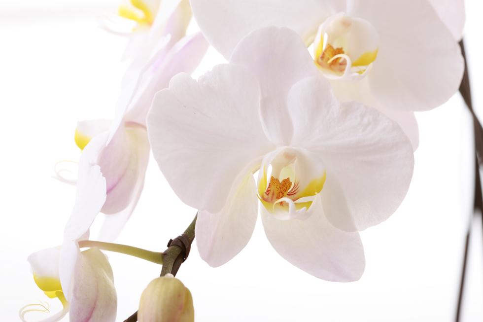 胡蝶蘭の花言葉<Moth orchid>あなたを愛します 幸福が飛んでくる