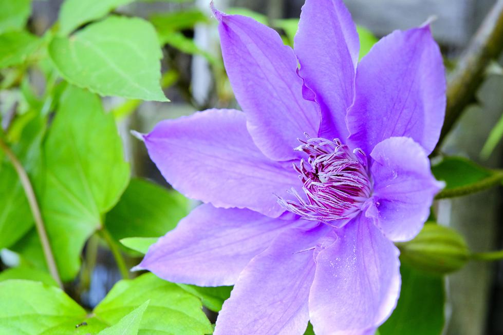 クレマチスの花言葉<Clematis> 精神の美、策略