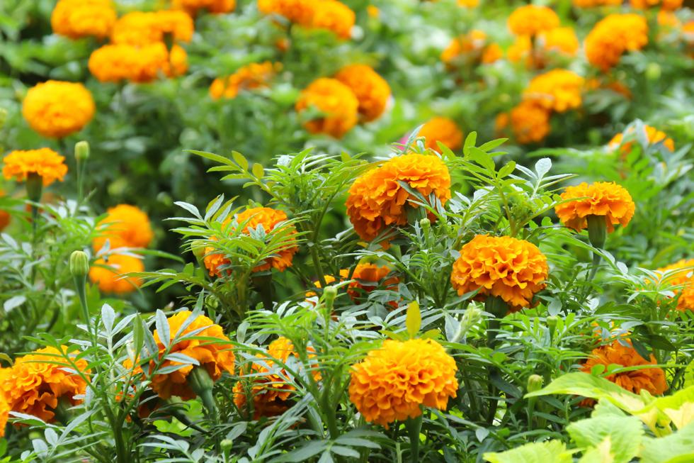 マリーゴールドの花言葉<Marigold> 可憐な愛情、友情、絶望、悲しみ