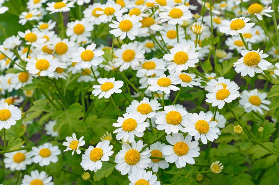マトカリアの花言葉<Matokaria、Feverfew>寛容、鎮静、集う喜び
