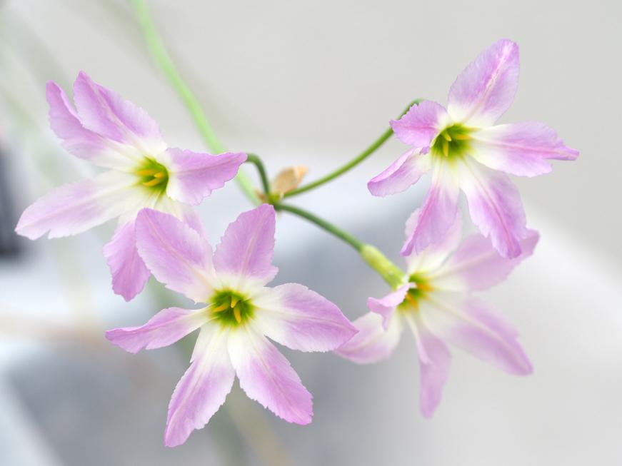 リューココリーネの花言葉<Leucocoryne>