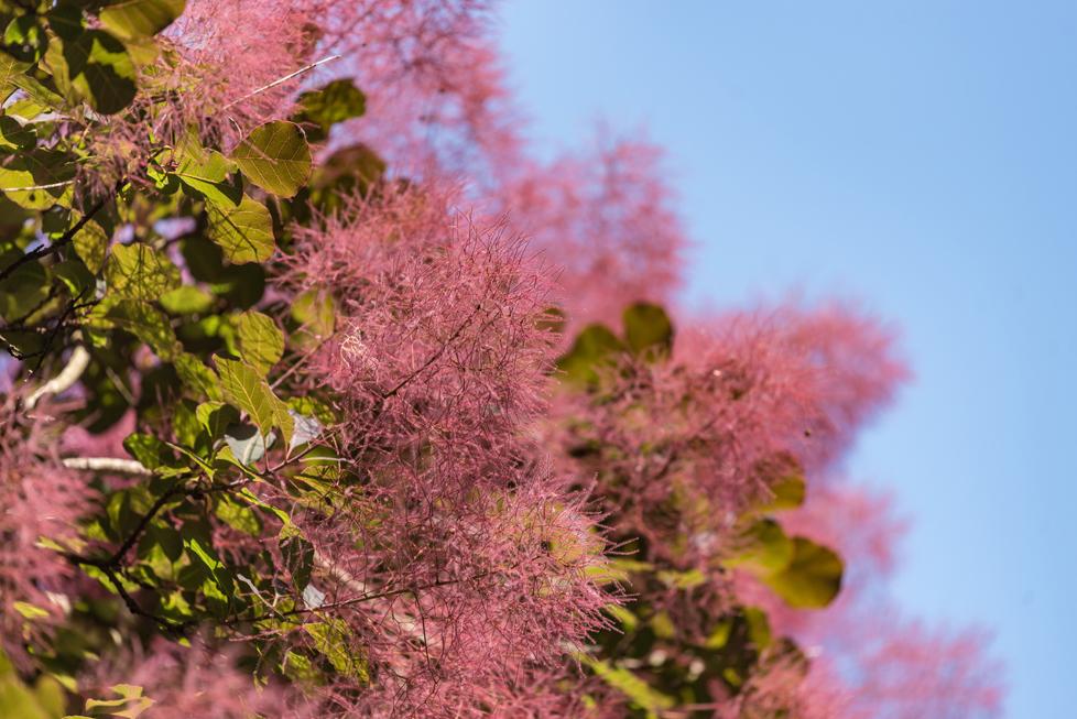スモークツリーの花言葉<Smoke tree> 賢明、憂い