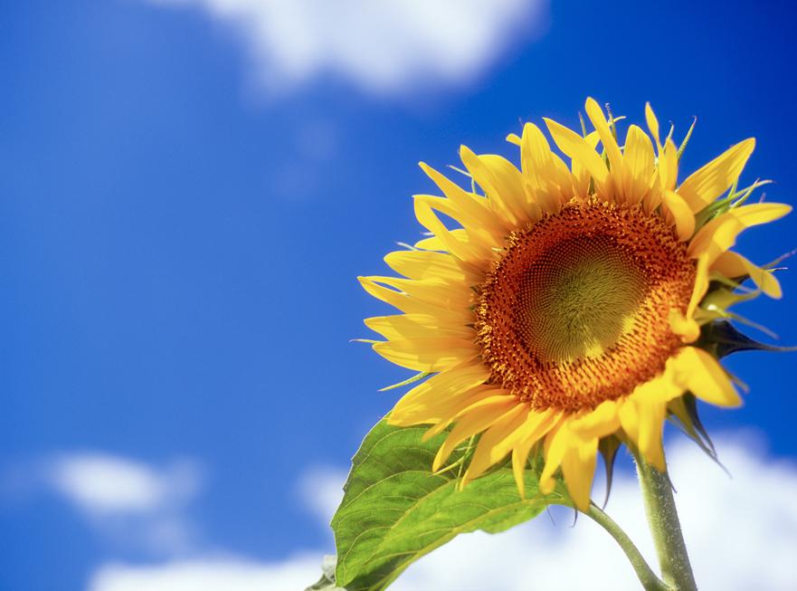 ひまわり(向日葵)の花言葉<Sunflower> 崇拝、敬慕