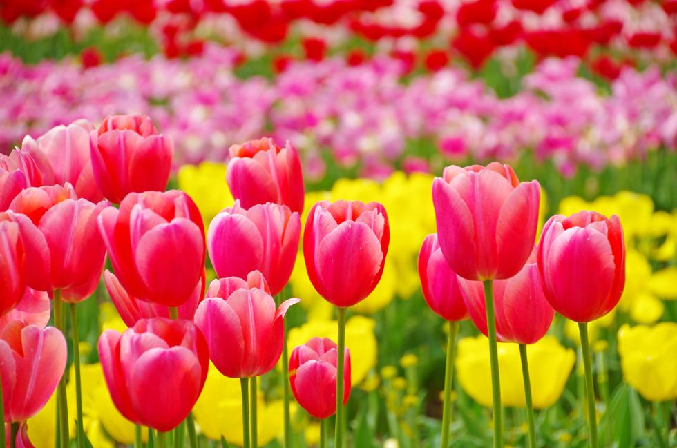 チューリップの花言葉<Tulip> 失恋、片思い、思いやり