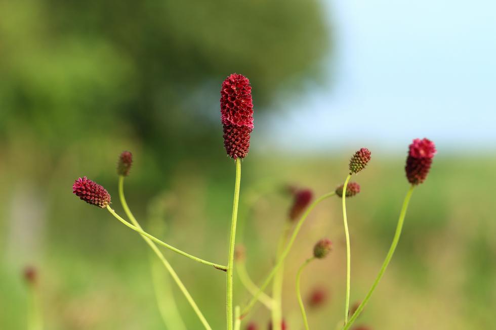 ワレモコウの花言葉<Great Burnet> 変化、移り行く日々、愛慕
