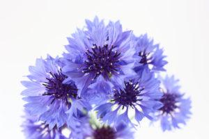 ヤグルマギクの花言葉<Cornflower> 幸福、幸運、優雅、繊細