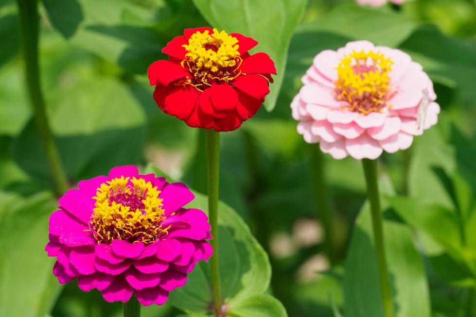 ジニア(百日草)の花言葉<Zinnia> 不在の友を思う、幸福