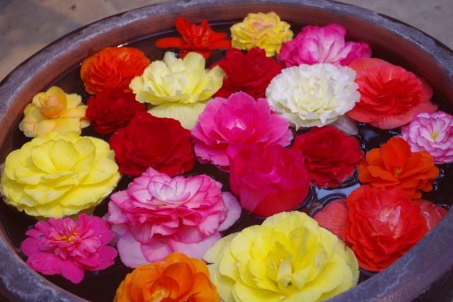 ベゴニアの花言葉