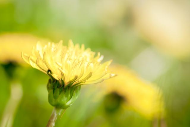 野に咲く花ではタンポポも花言葉は幸福