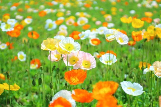 ポピーの花言葉<Corn poppy>いたわり、思いやり、恋の予感、慰め、感謝
