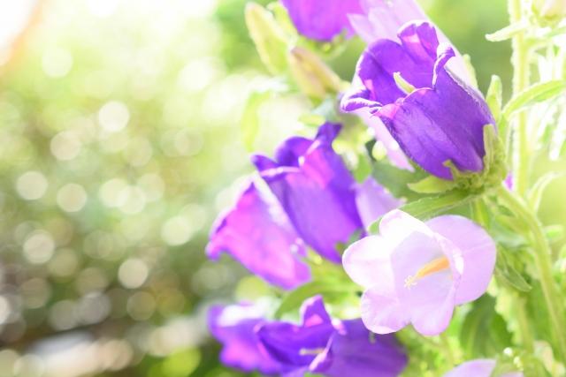 カンパニュラ(風鈴草)の花言葉 感謝、誠実な愛、共感