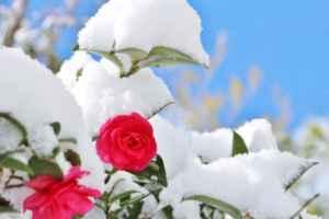 感謝の花言葉 感謝・ありがとうが花言葉の冬の花