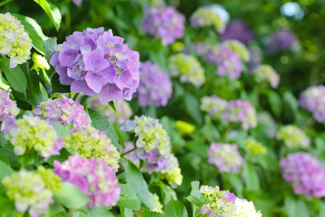 アジサイ(紫陽花)の花言葉〈Hydrangea macrophylla〉