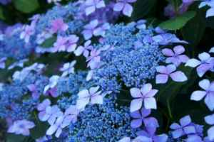 青い紫陽花の花言葉は、冷淡、無情、辛抱強い愛情