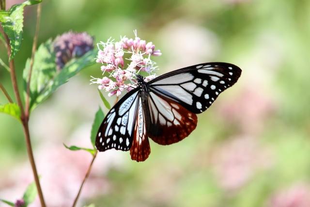 アサギマダラ蝶とフジバカマの花