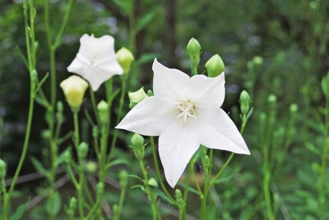 白の桔梗の花