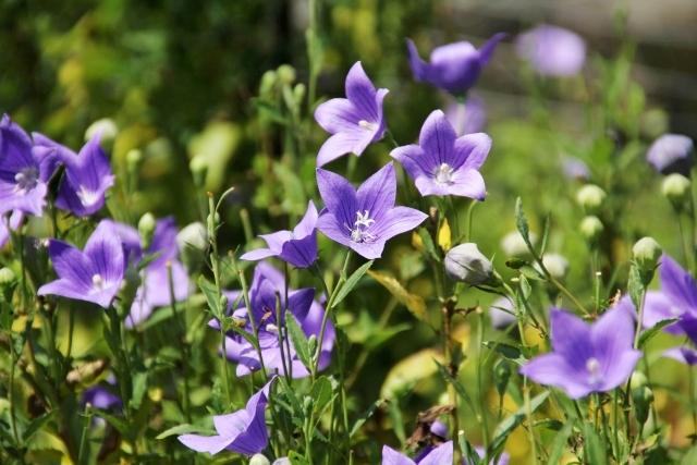 キキョウ(桔梗)の花言葉<balloon flower> 紫:気品 白:清楚
