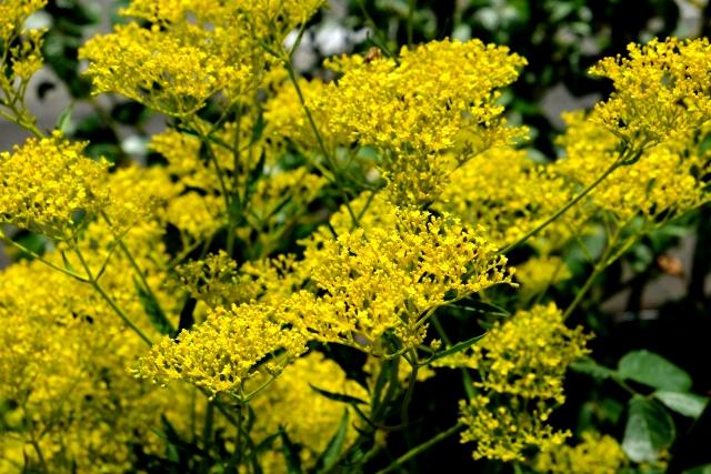 オミナエシ(女郎花)の花