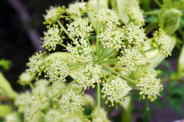 オトコエシ(男郎花)の白い花
