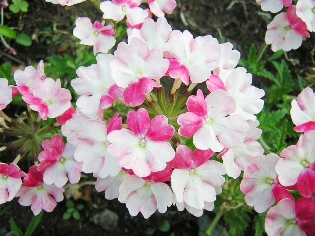 ピンク色のバーベナ