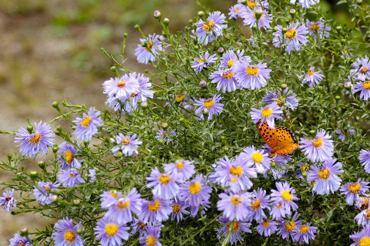 シオン(紫苑)の花言葉<Aster tataricus> あなたを忘れない、追憶、思い出
