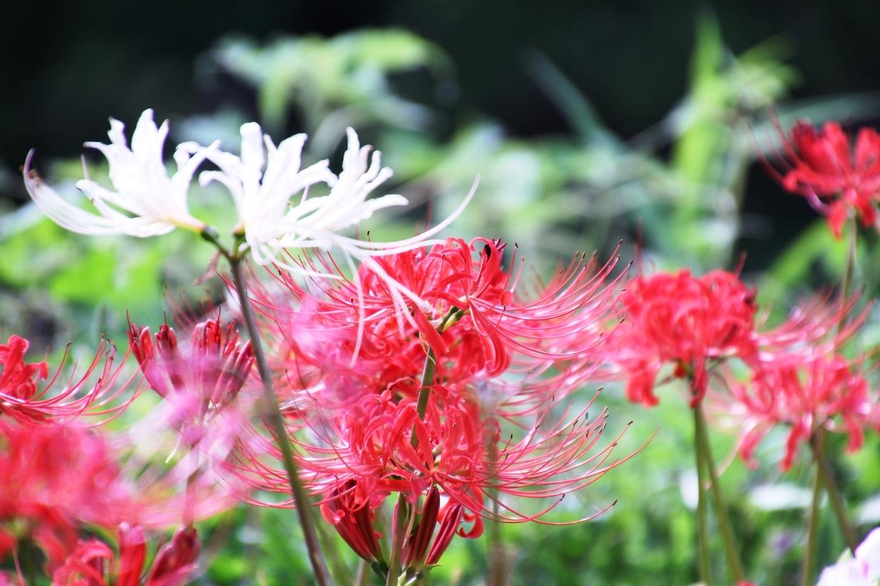 彼岸花(ヒガンバナ)の花言葉