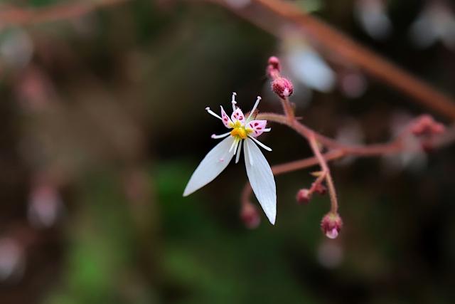 ユキノシタの花言葉 深い愛情・博愛・恋心・切実な愛情・好感