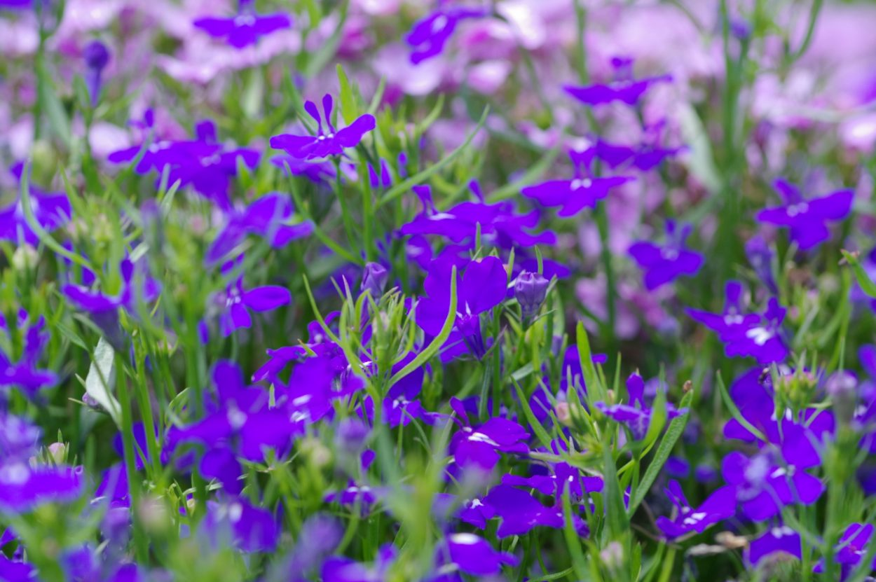 ロベリアの花言葉 いつも可愛らしい・人目に付く・謙遜・悪意・敵意