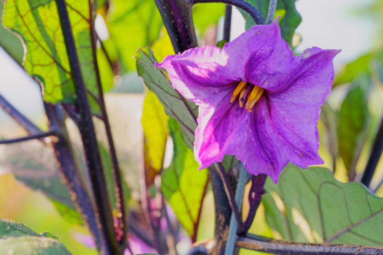 茄子の花(ナスの花)の花言葉<Eggplant> 優美・良い語らい・希望