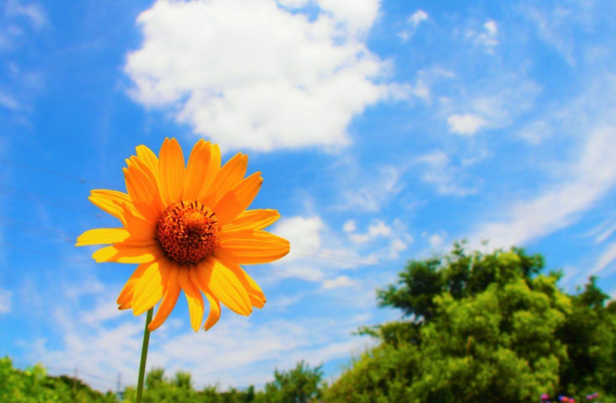 デイジー(雛菊・ヒナギク)の花言葉 美人・平和・希望・無邪気・無意識
