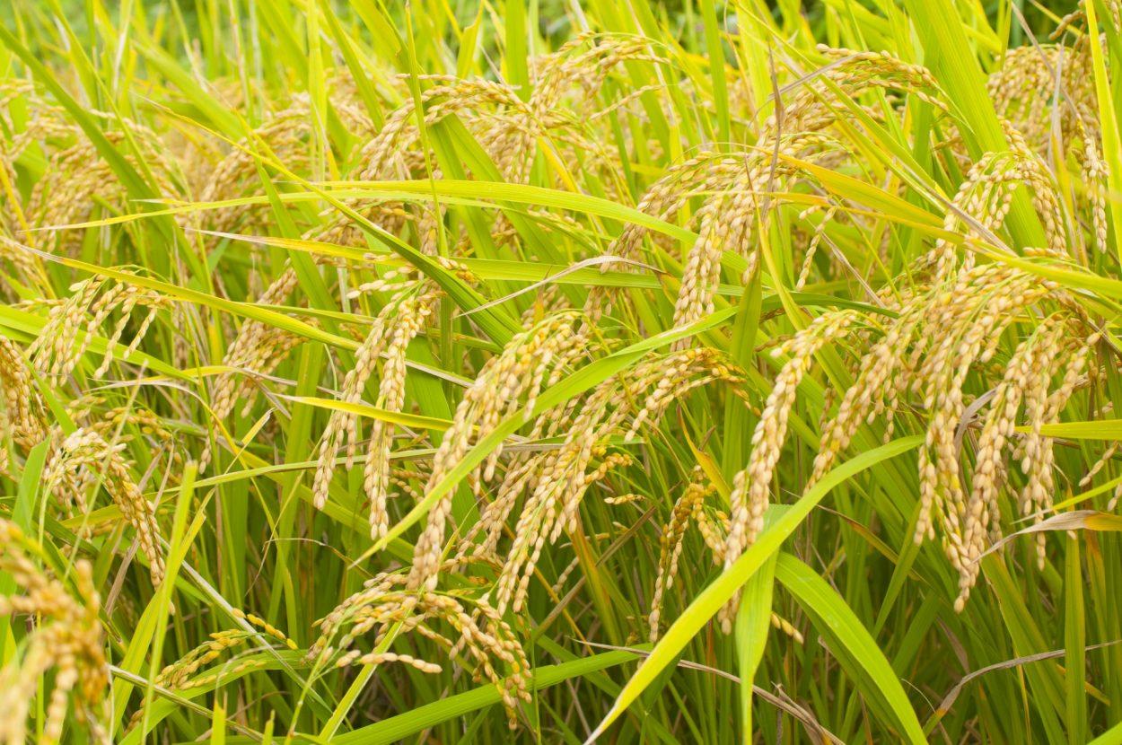 お米(稲)の花言葉 神聖
