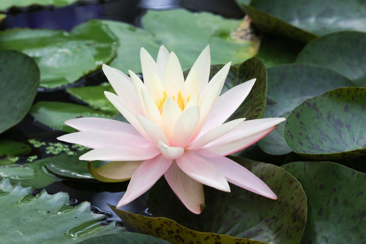 睡蓮(スイレン)の花言葉 清純・信仰・愛情・無垢・慎み深さ