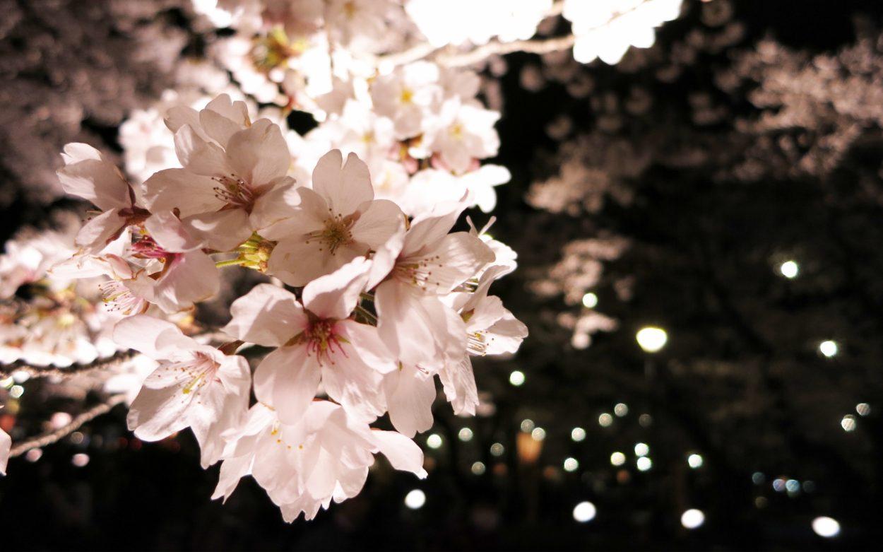 ソメイヨシノの花言葉 高貴 純潔 清純 優れた美人