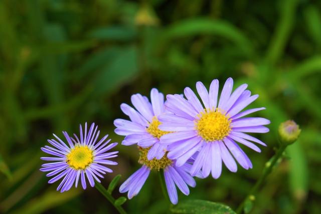 ユウゼンギク(友禅菊)の花言葉 さようなら私の恋よ、恋の思い出、深い愛
