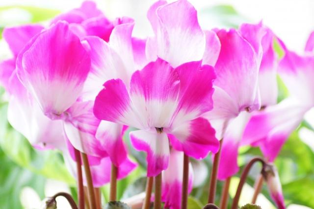 シクラメンの花言葉 遠慮、気後れ 色ごとの花言葉も解説
