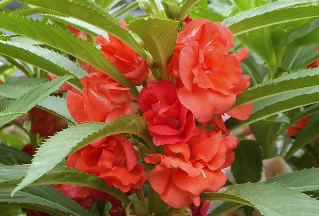 ホウセンカ(鳳仙花)の花言葉 私に触れないで、短期、せっかち、快活