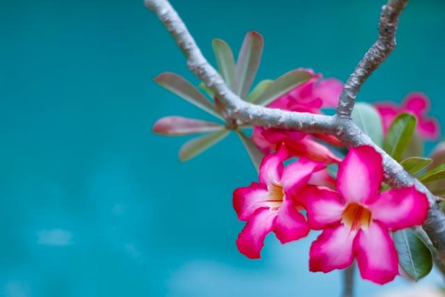 アデニウム(砂漠の花)の花言葉 一目惚れ、純粋な心
