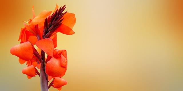 カンナの花言葉 情熱、快活、永遠、妄想、尊敬